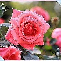 ロサ.キネンシス チャイナローズ球根 きれいな植物 リビングルームの装飾 ほぼ年中植付け可能-1 球根
