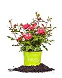 Perfect Plants Double Red Knock Out Rose 1 Gallon, Live Plant Includes...