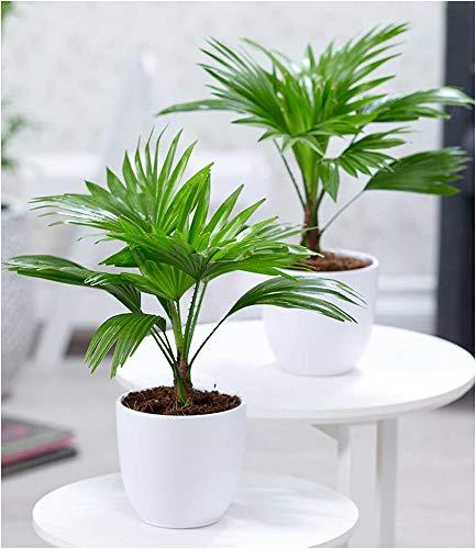 BALDUR-Garten Palmen Duo, 2 Pflanzen Livistona rotundifolia Schirmpalme Zimmerpalmen