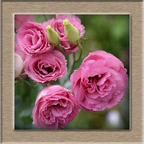 Hot Sale 7 Couleurs disponibles Eustoma Graines vivaces à fleurs Plantes Plantes en pot Fleurs Graines Lisianthus Seeds - 10 PCS