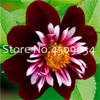 Bloom Green Co. 24 tipos de jardín de dalia, tipo flor Bonsái dalia pachyderms flor dalia (no bulbos) planta bonsái flores - 100 piezas flores: 20: Amazon.es: Jardín