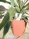 Echte Ananaspflanze Fruchtananas, Ananas comosus 65-75 cm, Piña Essbare Frucht