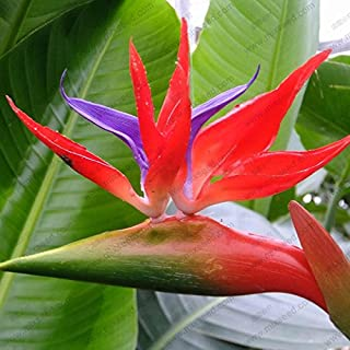 Houseplants Strelitzia reginae seed long flowering bird of paradise seeds 20 particles / bag
