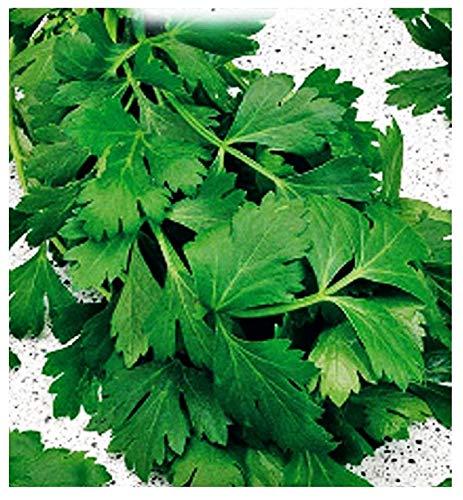 Semillas de perejil gigante italiano - verduras - petroselinum crispum - 6000 semillas aproximadamente - las mejores semillas de plantas - flores - frutas raras - perejil gigante - idea de regalo