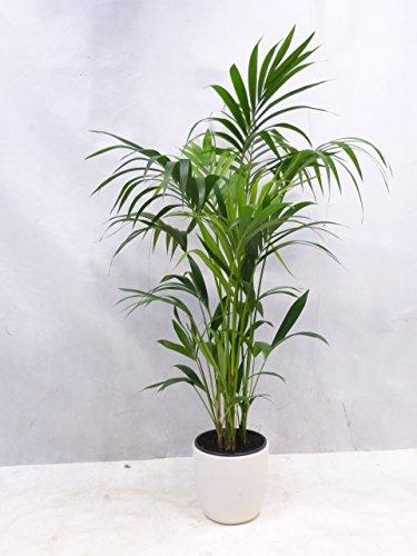 [Palmenlager] - Howea forsteriana - Kentia Palme 190/210 cm // Zimmerpflanze