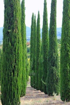 Mittelmeer Zypresse Cupressus sempervirens Säulenzypresse 10 Samen Bonsai geeignet