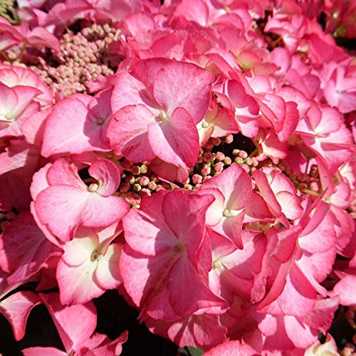 Pinkdose 50pcs Kletterhortensie Bonsai, Hortensie Paniculata, Vanille Fraise, Bonsai Hortensie Blume Pflanze, Topfpflanze für Hausgarten: 2