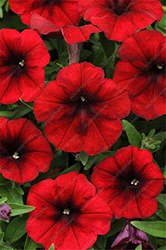100 Seed 9 Farben Calibrachoa Bio Petunia Samen gemischt 'Garten-Petunie' Sehr schöne Blumen-Samen-Land Miracle Grün
