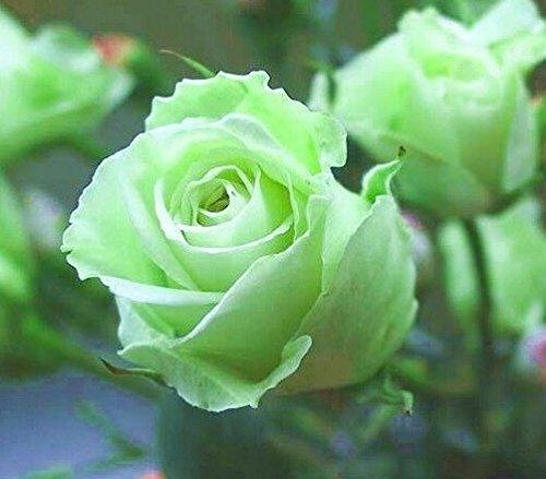 Hot Plants de! Graines Couleur Orange Rainbow Rose Graines de Charme Fleur chinoise Bonsai pour Garden gros Prix Gratuit Navire