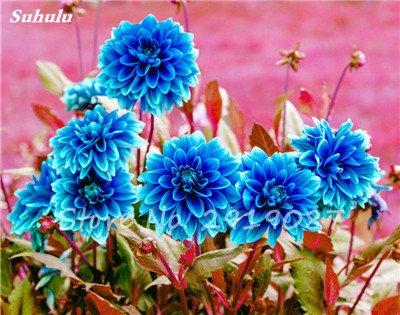 50 Pcs rares Graines Bonsai Dahlia (non Dahlia Bulbes) mixte en chinois Superbe fleurs Balcon Plante en pot Maison et jardin 15