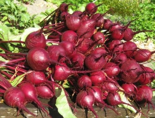 Early Wonder Crosby Betteraves Heirloom non-OGM de la betterave rouge racines semences de légumes (~ 600 graines)