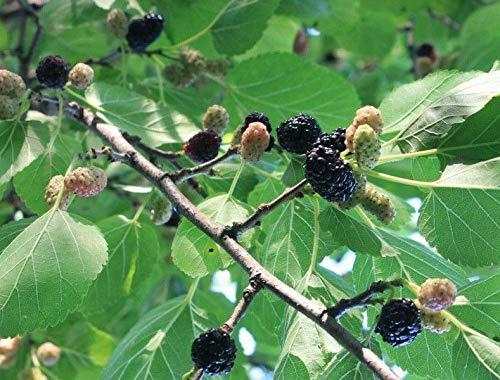 Schwarze Maulbeere Morus nigra Pflanze 25-30cm Maulbeerbaum Obstbaum Obstpflanze