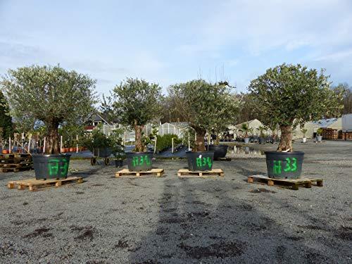 alter, uriger, knorriger Olivenbaum 70 Jahre, alte Olive winterhart, Olea Europaea