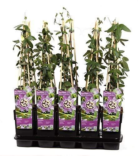 Blumen-Senf Winterharte Passionsblume Passiflora Purple Haze/65 cm/Topf Ø 15 cm/exotische Schönheit/Kletterpflanze