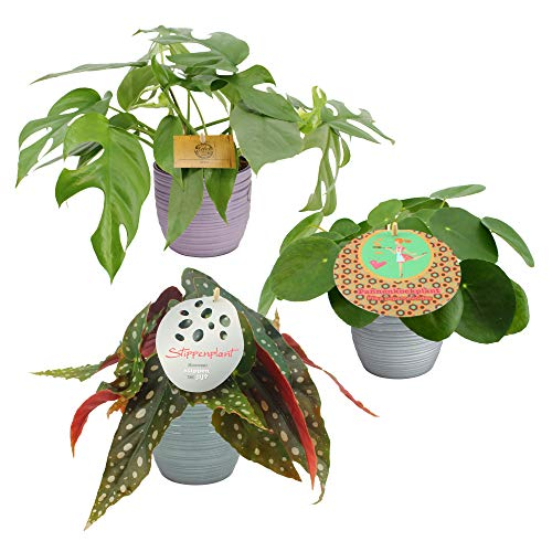 Piante da interno da Botanicly – 3 × Begonia maculata, Monstera minima, Pilea peperomioides in vaso in ceramica come set – Altezza: 20 cm