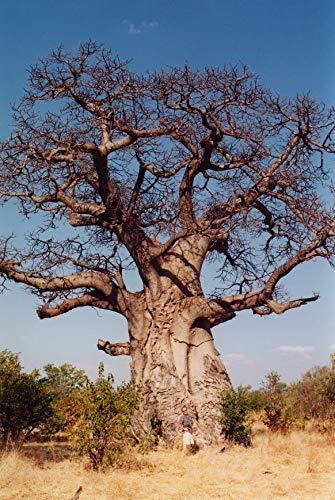 Asklepios-seeds® - 50 Semillas de Adansonia digitata Baobab, árbol del
