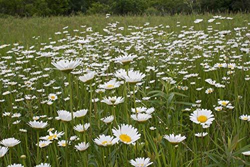 ScoutSeed Semillas de flores de hadas x100 Semillas de margaritas de ojo de buey Jardín de hadas, Semillas de flores silvestres
