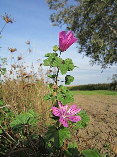 High Mallow Cheeses Common Mallow Malva Sylvestris-20 Inch By 30 Inch Laminated Poster With Bright Colors And Vivid Imagery-Fits Perfectly In Many Attractive Frames