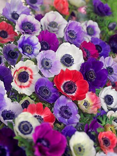 50x bulbes d'Anémones de Caen en Mélange - Fleurs simples - BULBi® Holland - 100% garantie de floraison - Bulbes à fleurs, floraison estivale