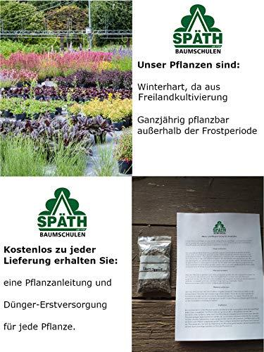 Späth Himbeere Pokusa Strauch winterhart Beerenobst süß-aromatische Frucht 1 Pflanze