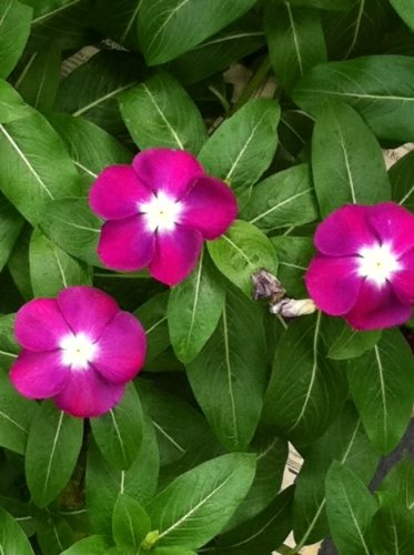 100 PINK DWARF ROSE PERIWINKLE / VINCA Rosea Flower SeedsComb S/H