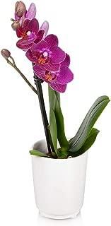Just Add Ice JAI201 Mini Orchid, Purple