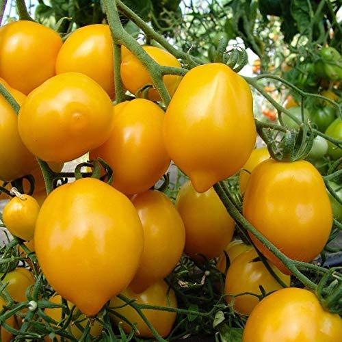 Portal Cool Gemüse, Tomate Citrina Eu Standard Quality Seeds Indoor Gewächshaus