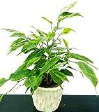 ficus benjamin anastasia in vaso ceramica, pianta vera