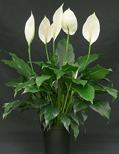 Cappl Peace Lily Plant (Spathiphyllum), Green
