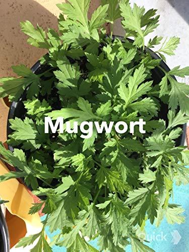 Organic Mugwort  Artemisinin Artemisia Argyi Silvery Wormwood Live Plant Herb