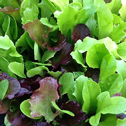 Mesclun Mix Lettuce Seeds - Mixed Greens - 50 Count Seed Pack - Non-GMO - A Tasty Mix of Greens to Bring Flair and Flavor to a Variety of Dishes. - Country Creek LLC