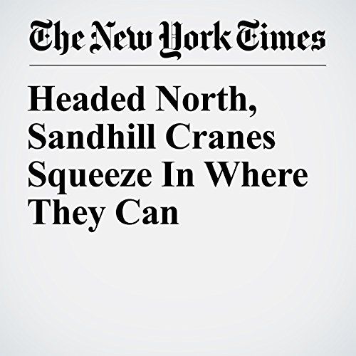 Headed North, Sandhill Cranes Squeeze In Where They Can copertina