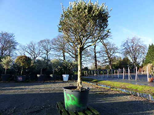 A22 genau dieser: Olea Europaea, uriger, knorriger Olivenbaum, alte Olive winterhart