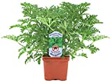 Garden Elements Live Citronella Mosquito Plant - 4 Inch Pot - Repels Mosquitoes (2)