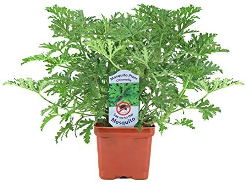 Citronella Mosquito Repellent Live Plant