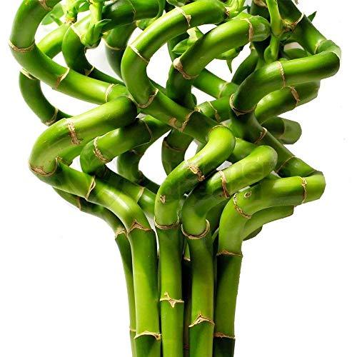50cm Lucky Bamboo - 5 Spiral Stems - Indoor Plant Pot Garden Windowsill...