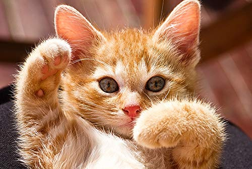 Qilo Rompecabezas de Gatos Gatito del Gato Serie Rompecabezas - pequeño Gato Naranja - 300/500/1000 Pieza de Madera for los Amantes del Gato - Puzzle Juego Interesante decoración del hoga