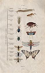 INSECT KINGDOM: Insectes. 12 orders. Classification; antique print 1833