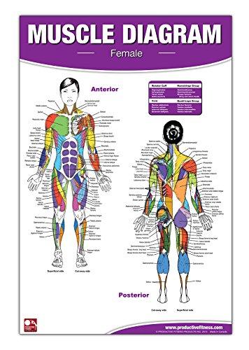 Hembra muscular diagrama