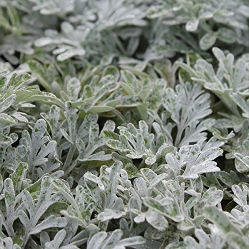 4 x Artemisia Stelleriana 'Boughton Silver' - Bijvoet pot 9cm x 9cm