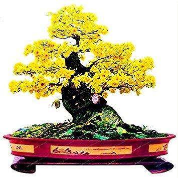 Virtue 20 pcs/sac Graines De Jasmin Rare Jaune Graines De Fleurs, Bonsai Jardin En Pot De Graines Graines Plante d'intérieur ou d'extérieur facile à cultiver