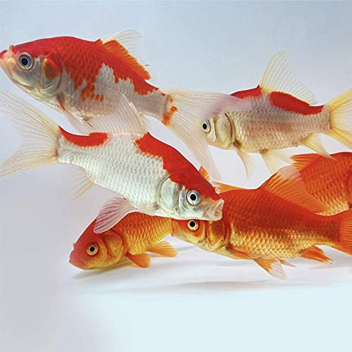 pond fishes Toledo Goldfish Live Sarasa and Comet Goldfish Combo for Ponds or Aquariums – USA Born and Raised – Live Arrival Guarantee (3 to 4 inches, 6 Fish, 3 of Each)