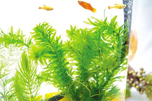 アナカリス6本~7本 水草 (さえずり草)