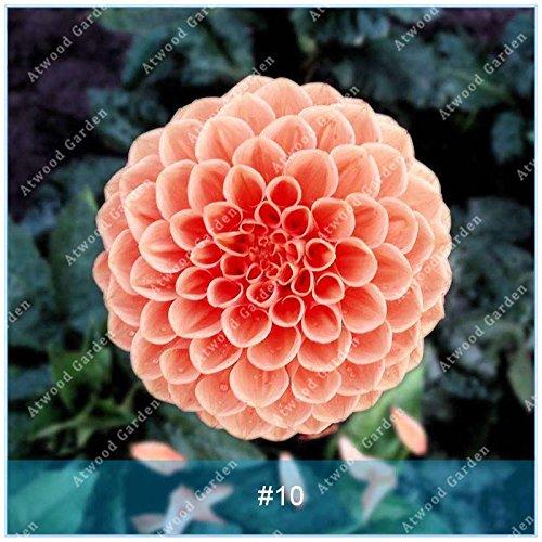 ZLKING 2pcs Semillas real de la dalia de los bulbos de flor de Bonsai bombillas no dalia planta perenne con bulbo en maceta Raíz para jardín 10