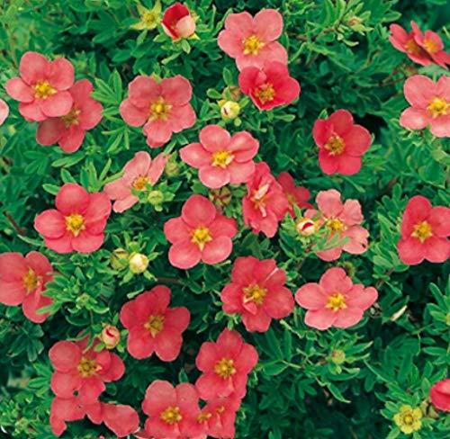Tomasa Samenhaus- Selten Fingerstrauch Bodendecker Fingerkraut Blumensamen pflegeleicht Blumen Hecke winterhart mehrjährig Zierstrauch bienenfreundlich