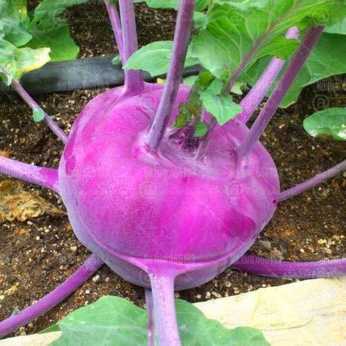 HONIC 100Pcs Seltene Kohlrabi Bonsai Brassica oleracea Gemüse Bonsai Alternative Kohl für Hausgarten Pflanzen Pflanzen Topfpflanze: 1