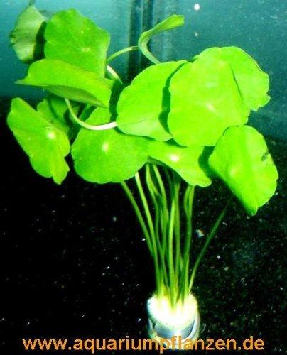 Mühlan Wasserpflanzen 3 Bunde Hydrocotyle verticillata, Hutpilzpflanze