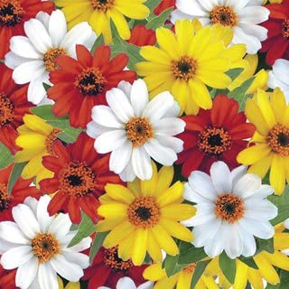 Best profusion zinnia seeds Reviews