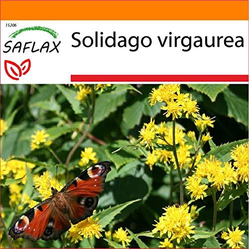 SAFLAX - Jardin dans le sac - Solidage verge d'or - 100 graines - Solidago virgaurea