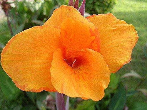 vrai% de bonsaïs Canna indica de variétés 11.11New seeds.Perennial extérieur tropical Big feuilles graines de plantes de fleurs pour le jardin de la maison